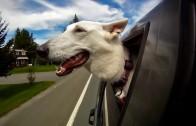 Tihle psi milují jízdu autem – a co ten váš?