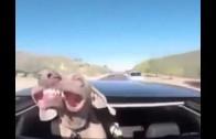 Jak za jízdy zchladit psa? Otevřete mu střešní okno!